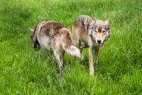 UK Wolf Conservation Trust 2015