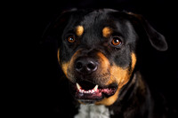 Buster (Rottie x)